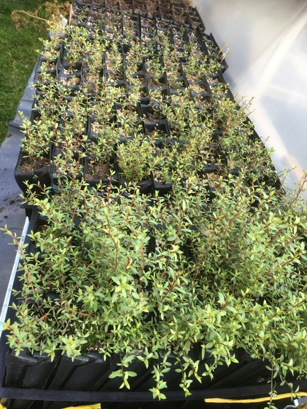 Manuka hardy bush cuttings